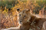 AA Female Lion Kruger National Park